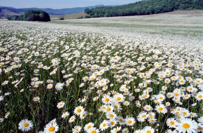 chamomile-field-14661645